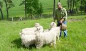 Mohair schapen aan de Armançon