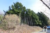 Douglas pines
